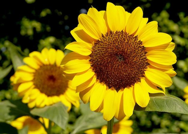 Close-up zonnebloemen in de tuin helianthus