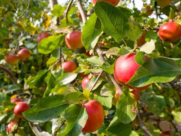 Close-upbeeld van mooie rijpe rode appels die op boomtak groeien bij boomgaard