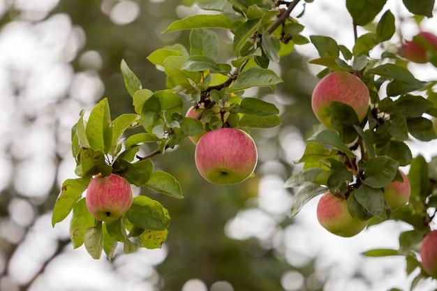 Close-upbos van mooie groene appelen met dalingen