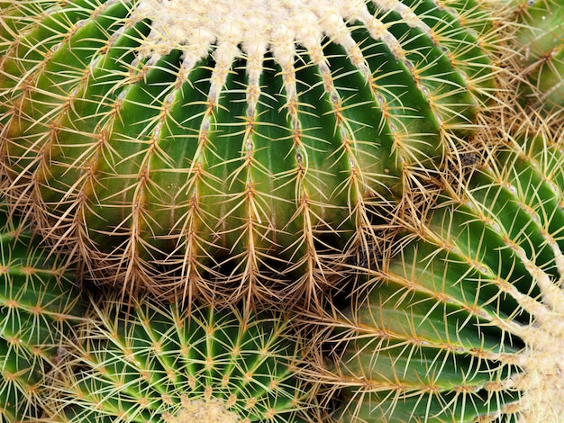 Close-upcactus in de tuin.