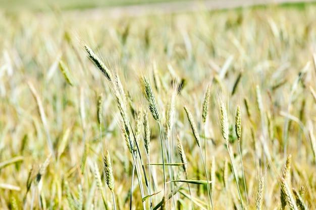 Close-upfoto's gemaakt van onrijpe groene granen in de zomer