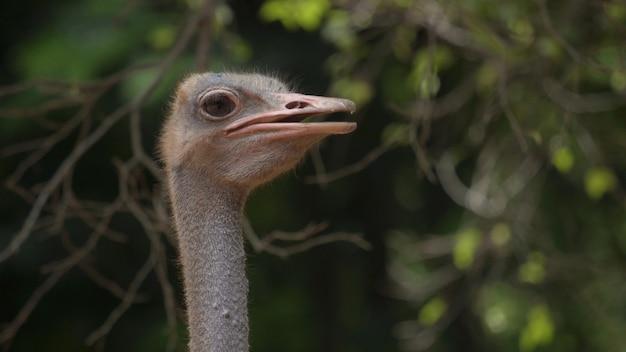 Close-upfoto's, struisvogel hoofd