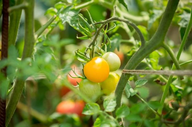 Close-upfoto van gele tomaten die in de tuin groeien