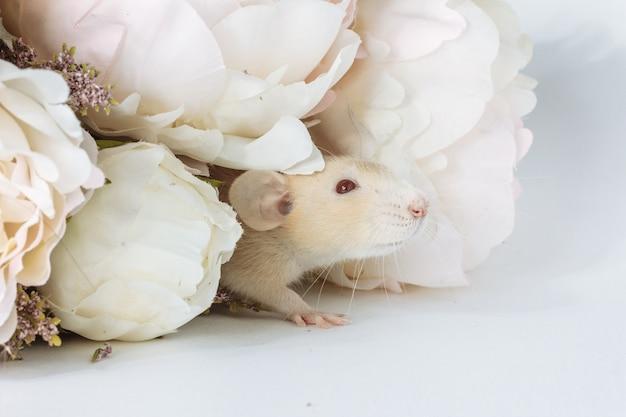 Close-upfoto van kleine schattige witte rattenmuis in prachtige bloeiende witte pioenrozen, bruiloft, valentijnsdag, bloem. witte achtergrond