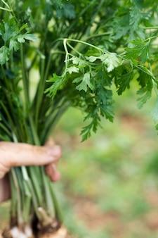 Close-uphand die een bos van pastinaak houden