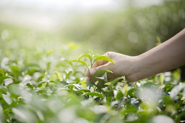 Close-uphand met het plukken van verse theebladen in natuurlijk organisch groen theelandbouwbedrijf