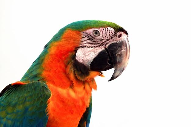 Close-upkop scarlet macaw uit
