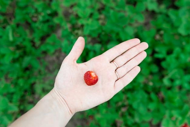 Close-upmening die van handen verse aardbei houden die in organisch wordt verzameld