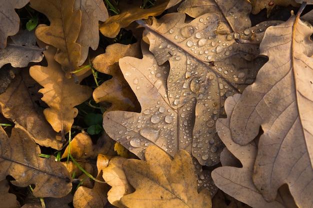 Close-upmening van bruine natte aokbladeren in regenachtige dag in bos