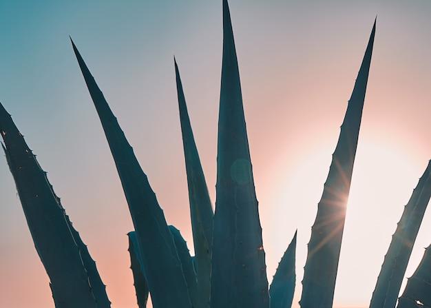 Close-upmening van de bladeren van de agaveinstallatie tegen zonsonderganghemel met zonnestralen