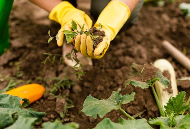 Close-uppersoon die de gewassen geeft