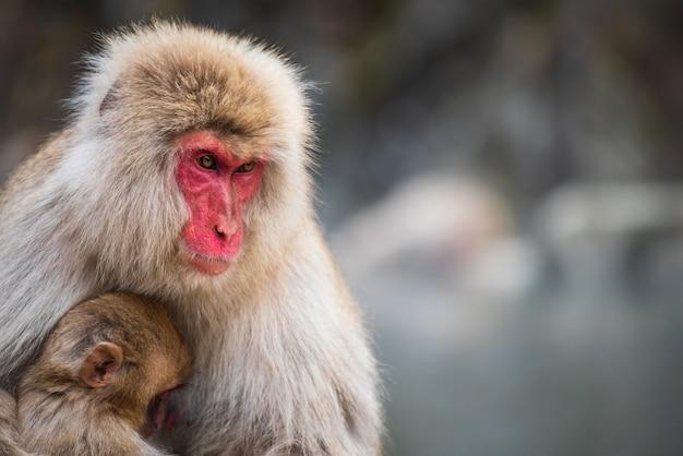 Close-upportret van de japanse moeder en de baby van de sneeuwaap makaak bij jigokudani-park, yamanouchi, nagano, japan. groep wilde dierenfamilie tijdens winterseizoen.
