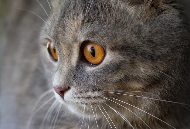 Close-upportret van een grijze schotse vouwkat met de grote gele ogen
