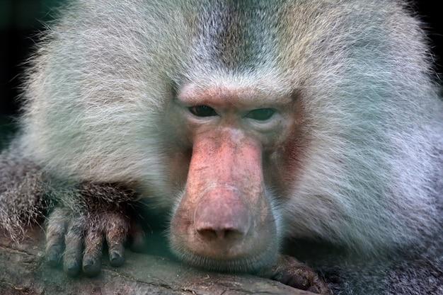 Close-upportret van een grote aap
