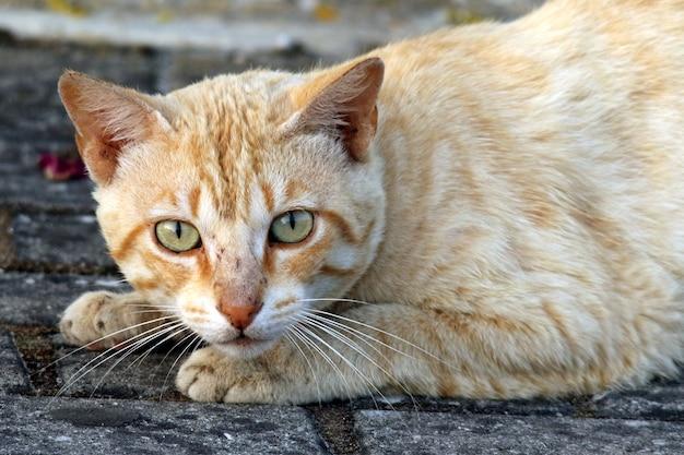 Close-upportret van een leuke binnenlandse kortharige kat die naar de camera staart