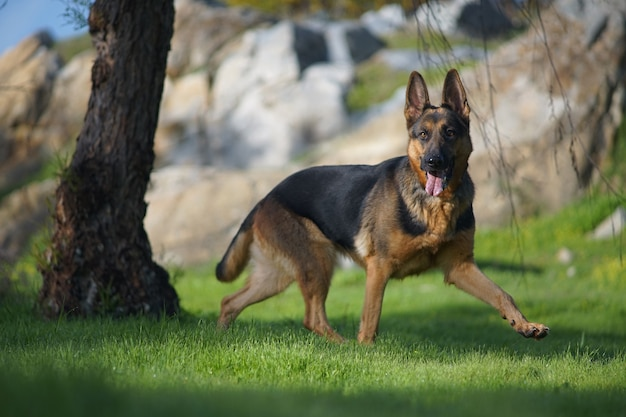 Close-upportret van een leuke duitse herdershond die op het gras loopt