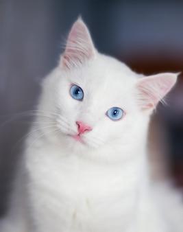 Close-upportret van een pluizige witte kat met blauwe ogen