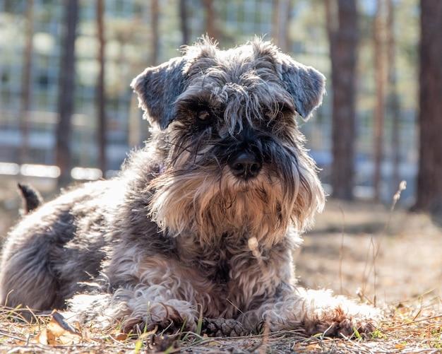 Close-upportret van een schnauzerpuppy. een hond op een wandeling ligt op de grond en wacht op de eigenaar.