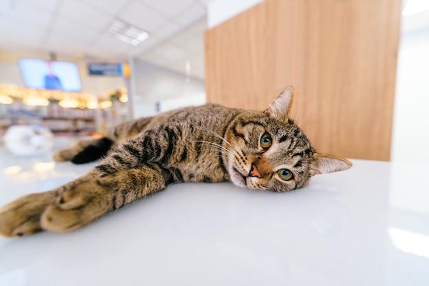 Close-upportret van grappige kattensnuit lyiung op ontvangstlijst in dierenartskliniek.