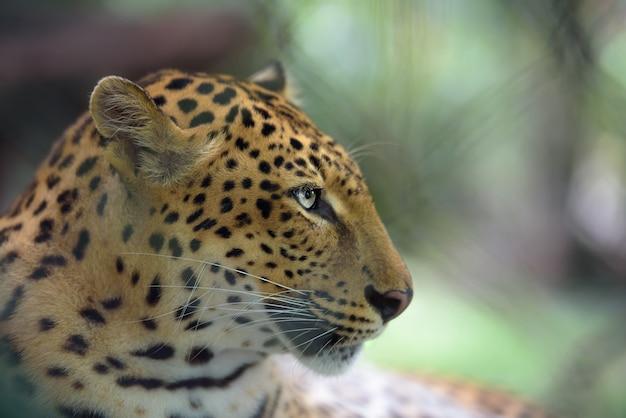 Close-upportret van jaguar