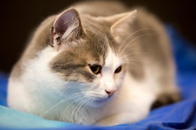Close-upportret van jong aardig klein leuk wit en grijs binnenlands kattenkatje met dromerige uitdrukking op vage zwarte en blauwe achtergrond. het houden van dierlijk huisdier thuis wild concept.