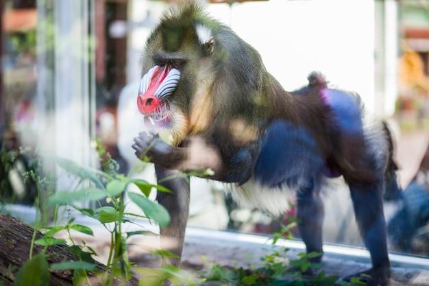 Close-upportret van mandril-aap bij dierentuin
