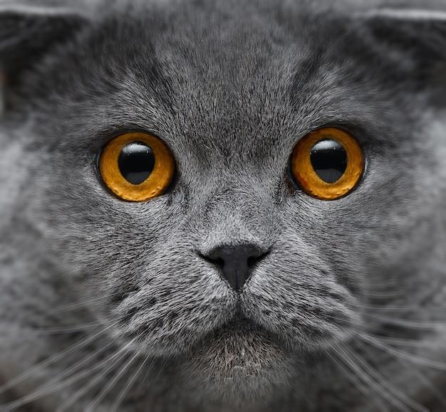 Close-upportret van mooie britse kat met gouden ogen.
