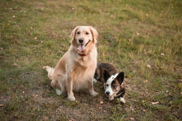 Close-upportret van schattige twee honden welsh corgi-hond en golden retriever-hond die camera in de lenteoppervlakte bekijken