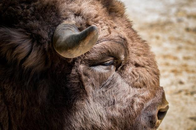 Close-upportret van wilde bizons van opzij gezien.