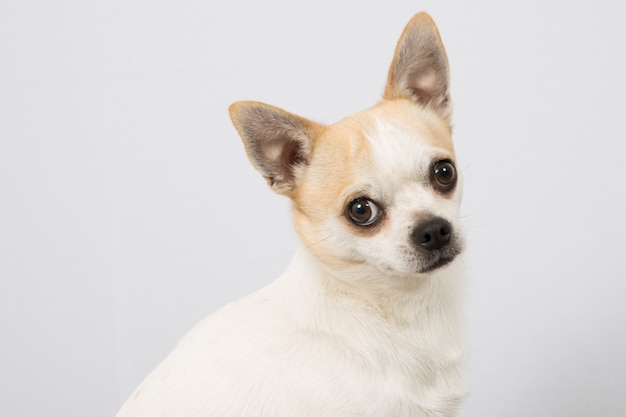 Close-upportret van witte chihuahua