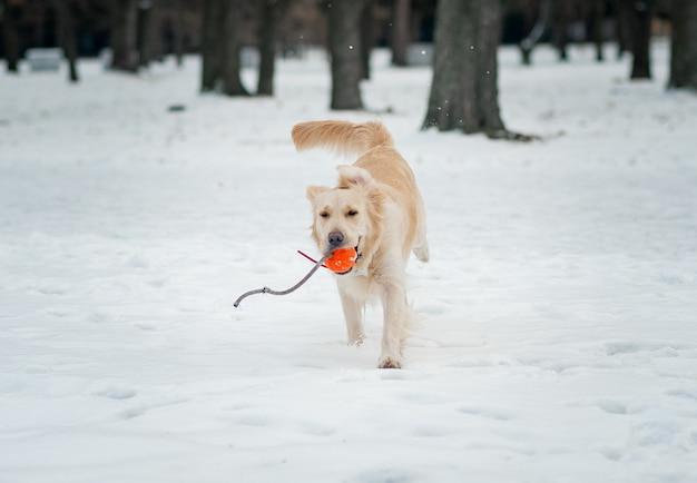 Close-upportret van witte retrieverhond op de winterachtergrond. witte golden retriever pup zittend op sneeuw. zonnige winterdag