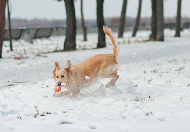 Close-upportret van witte retrieverhond op de winterachtergrond.