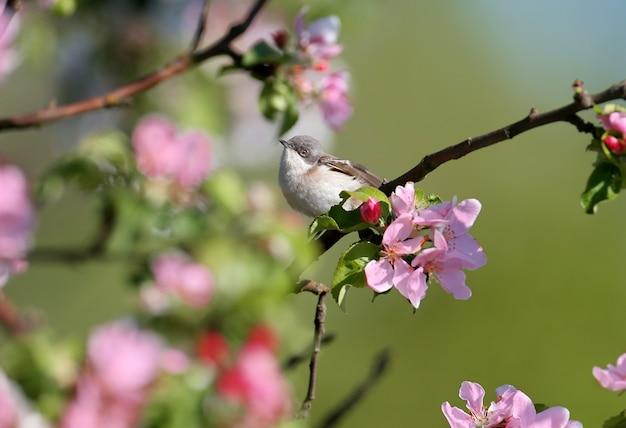 Close-upportretten van de kleine whitethroat (curruca curruca) in natuurlijke habitat