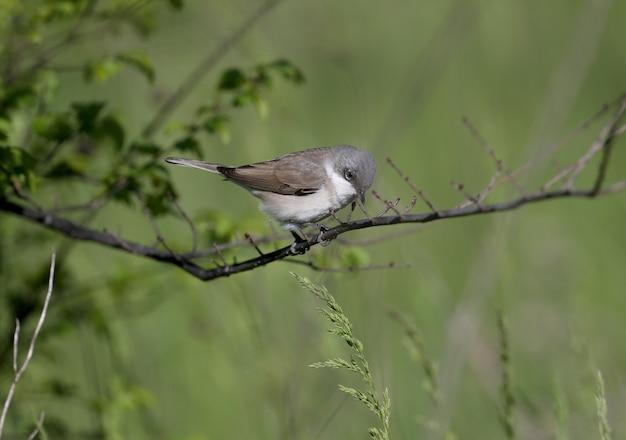 Close-upportretten van de kleine whitethroat (curruca curruca) in natuurlijke habitat Premium Foto