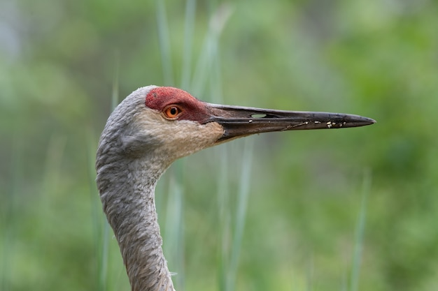 Close-upprofiel van een sand hill crane op zoek naar voedsel