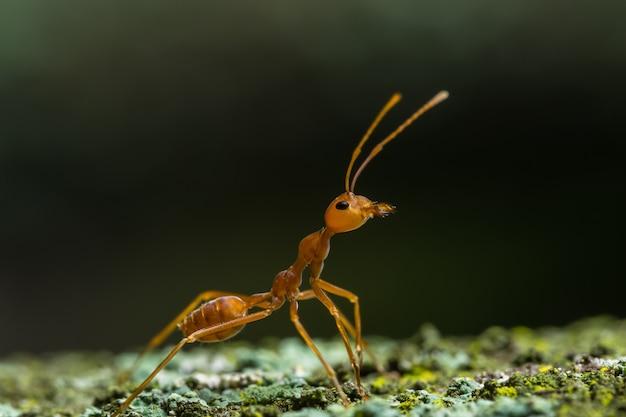 Close-ups rode mier op de boom