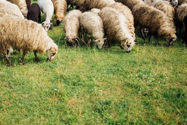Close-upschapen die gras op weiland eten