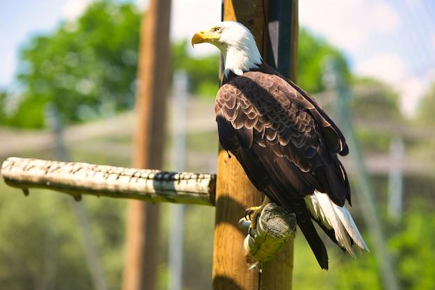 Close-upschot van een kale adelaarszitting op hout met vage achtergrond - vertrouwensconcept