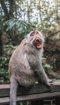 Close-upschot van een makaak op een houten richel met een geopende mond en natuurlijk vaag
