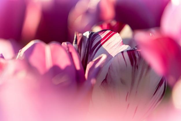 Close-upschot van enige witte en purpere tulpen op een purper tulpengebied - individualiteitsconcept