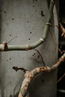 Close-upschot van kromme groene bamboestammen dichtbij een grijze muur