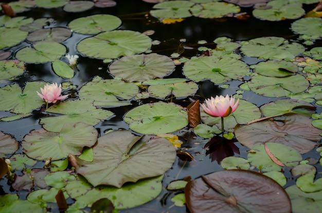 Close-upschot van mooie roze nymphaea-nelumbobloemen in het water met grote bladeren