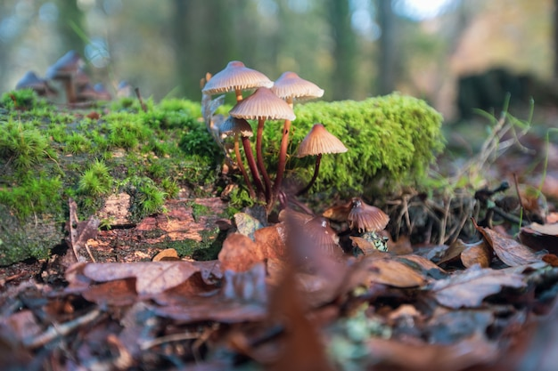 Close-upschot van paddestoelen in droge bladeren in het nieuwe bos, dichtbij brockenhurst, het uk worden gekweekt dat