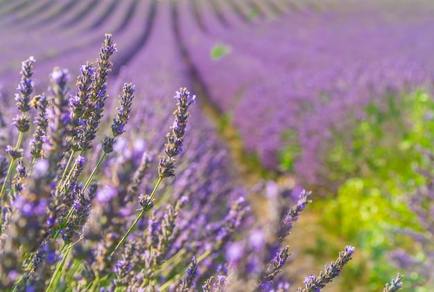 Close-upstruiken van purpere lavendelbloemen in de zomer dichtbij valensole, de provence in frankrijk