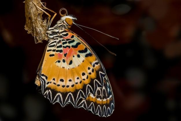 Close-upvlinder van de luipaard lacewing, de textuurachtergrond van het vlinderdetail
