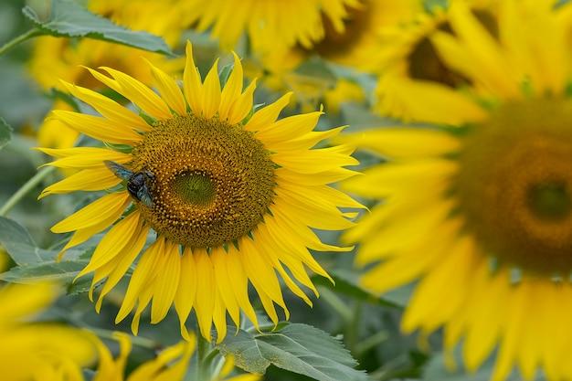 Close-upzonnebloem en de werkende achtergrond van de bijenaard