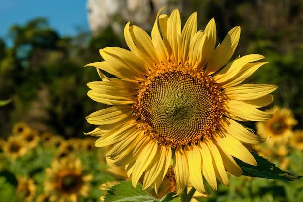 Close-upzonnebloem, natuurlijke achtergrond.