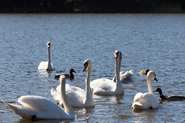 Close-upzwanen in de lente, een mooie watervogelgroep vogelszwanen op een meer of een rivier, een groep zwanen die op het water zwemmen
