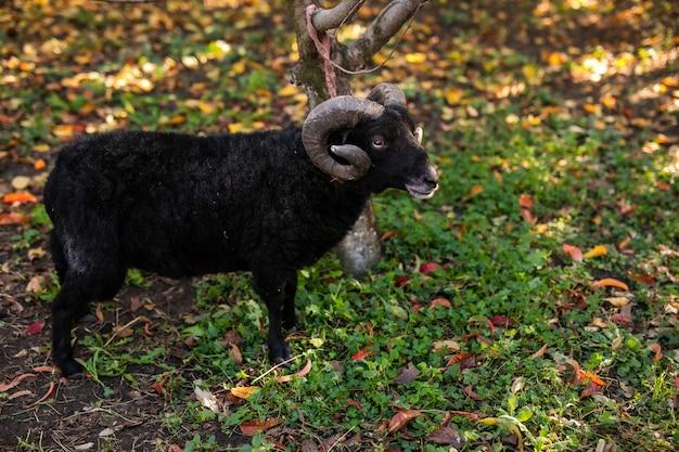 Close-upzwarte schapen in warm de herfstpark