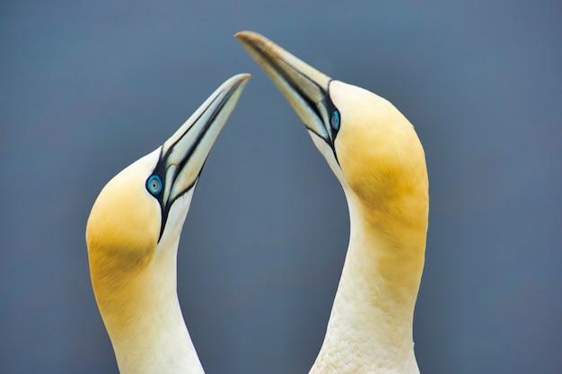 Closeu up van een paar noordelijke granaat vogels